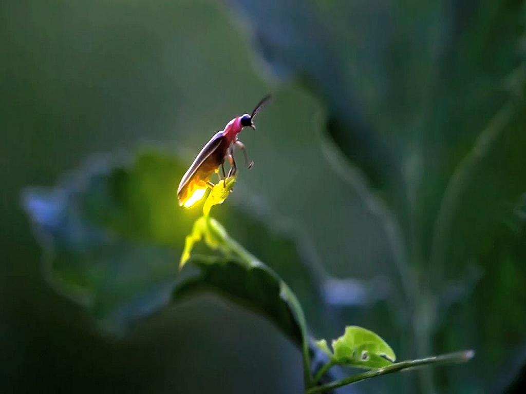 Fireflies show @ Pachnai on 16-17 Jun'18